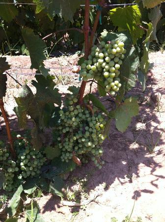 Vinedos Cuna de Tierra : Creciendo para convertirse en vino