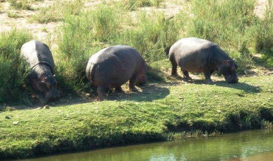 Khandizwe River Lodge: Hippos besuchten uns