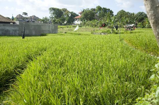 Villa Sunaya: Adjacent Padi Field