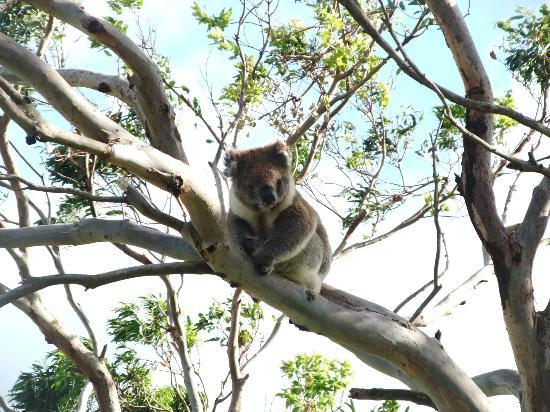 Shearwater Cottages: Koala! In the tree just in front of the cottage.