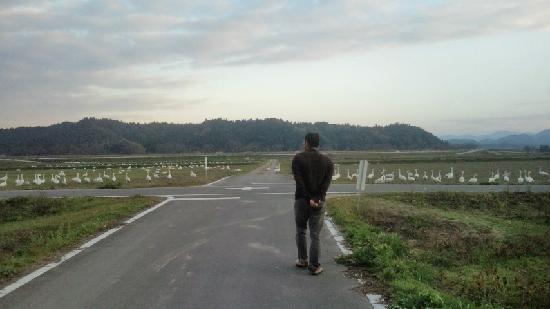Izumo Orinoki Swan Farm Village: 白鳥!!!