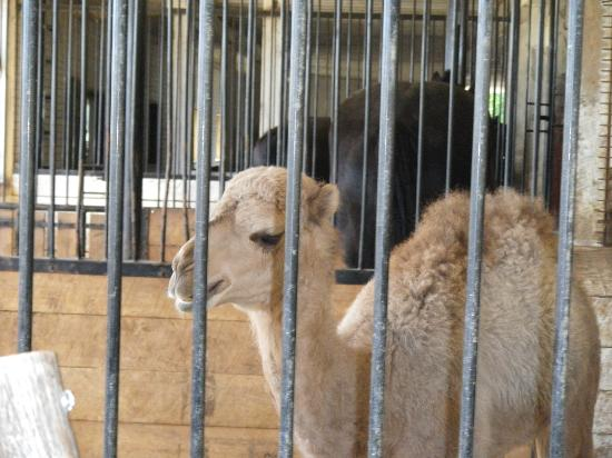 Donna's Premier Lodging: baby camel at the farm