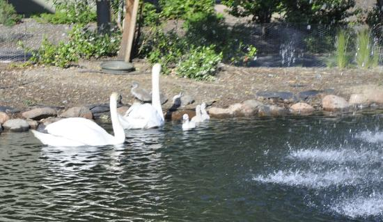 Gaia Hotel & Spa Redding, an Ascend Hotel Collection Member: One of the ponds with the Swan family