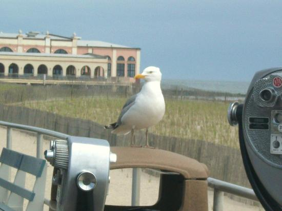 Ocean City Boardwalk: WATCH OUT! This seagull may look harmless, but you better not eat around him or he's comin' for