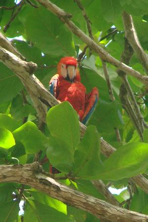 Pavones Yoga Center : gorgeous, but noisy macaws