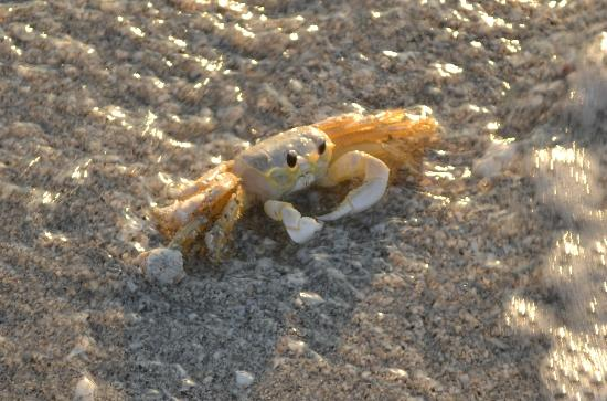 Boca Grande, FL: Crabs walking sideways on the beach