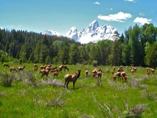 Triangle X Ranch: An elk herd that we rode through--you always see an abundance of wildlife on rides.