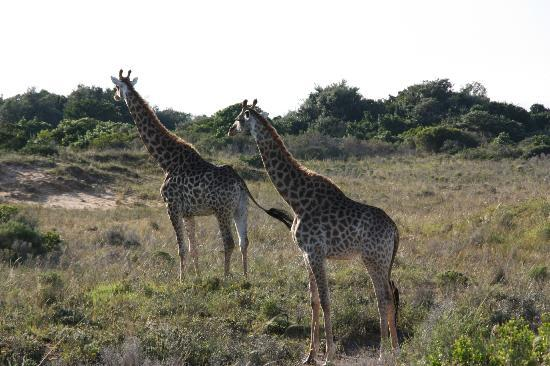 Fort D'Acre Reserve: Reserve Game Drive Giraffes