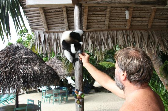 Hotel La Petite Traversee: Feeding the lemurs - all rescued pets that now roam free around the hotel