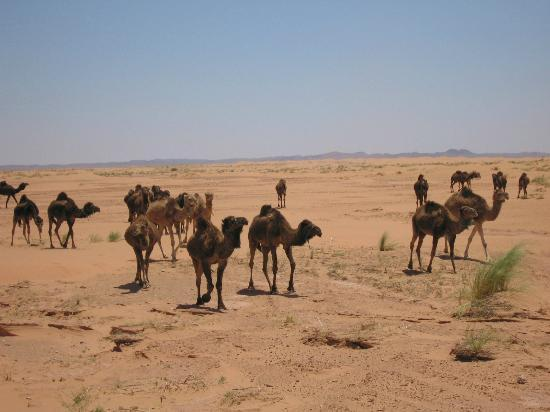 Travels Morocco - Day Tours: Camels