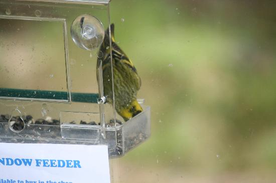 RSPB Loch Garten : Window feeder