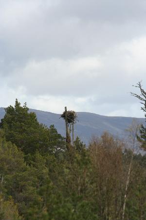 RSPB Loch Garten: The Osprey Nest