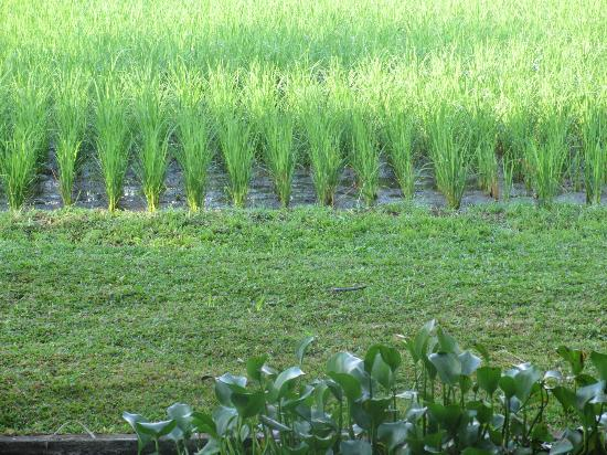 Saren Indah Hotel : Lush and Lovely Rice field outside window