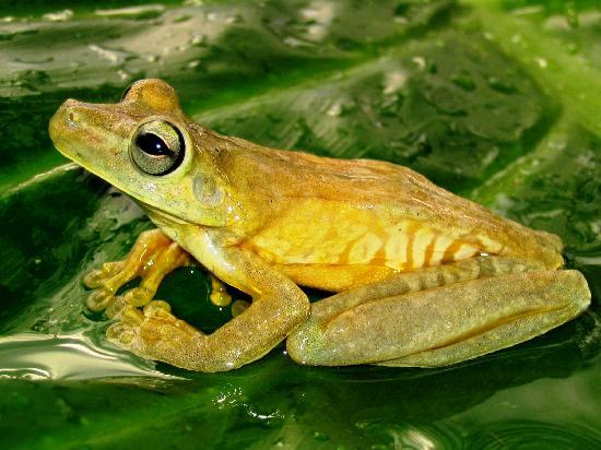 Costa Rica Jade Tours: Tree frog