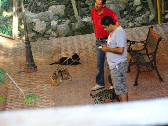 5th Avenue (Avenida 5): Tiger and Black Puma Cub