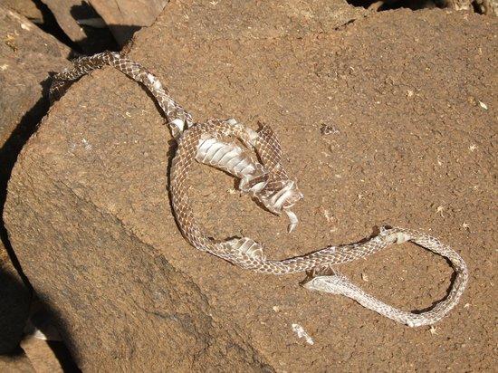 Shed cobra skin