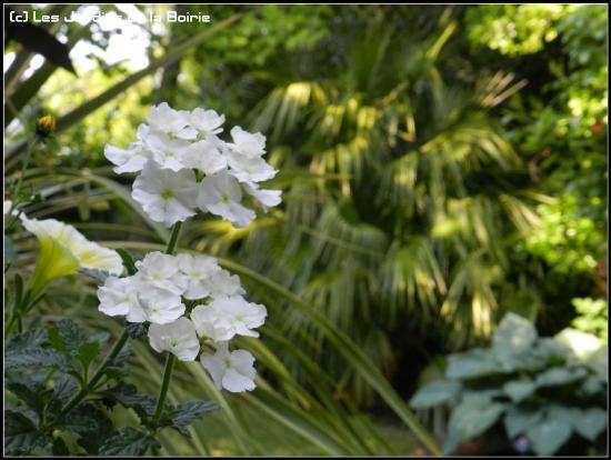 Île d'Oléron, France : Verbena 'Empress White'
