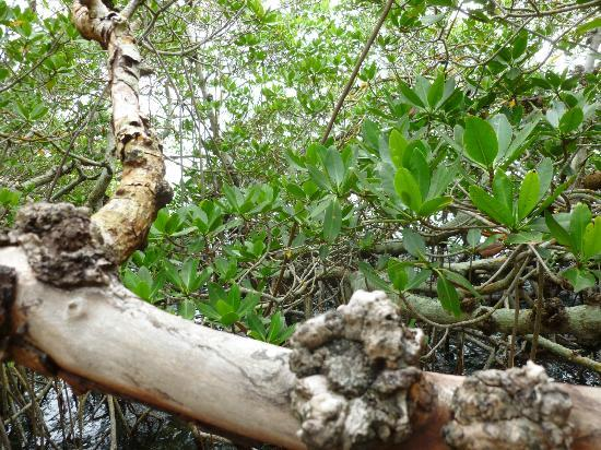 Coquina Baywalk: Knotty old mangrove branches