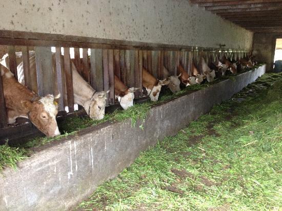 Hotel Los Heroes: dairy farm - cows