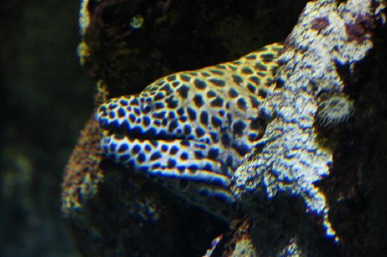 Aquarium Mare Nostrum : Moray eel
