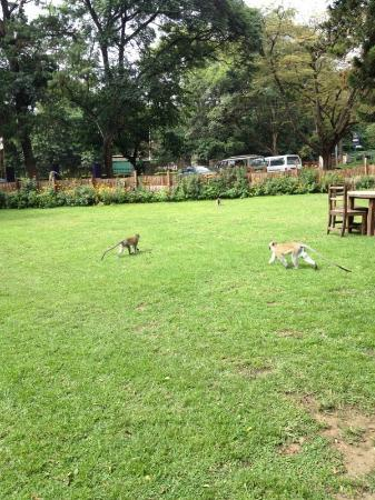 Mango Tree Bar & Lounge: Monkeys visit the beer garden