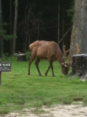 Meadowbrook Resort: elks