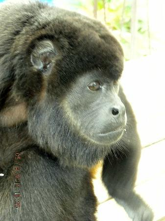 Alouatta Sanctuary: She has The Saddest and Most Beautiful Face, Maisie