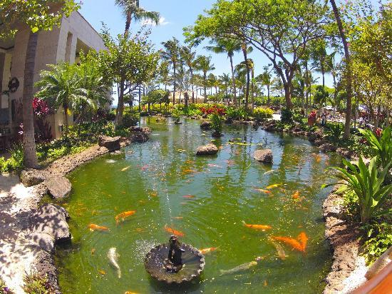 Coy pond picture of marriott ko olina beach club for Coy ponds pictures