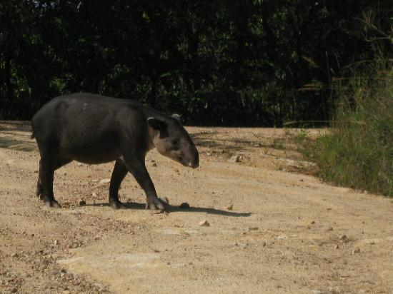 Belize Magnificent Mayan Tours: Tapir crossing the road