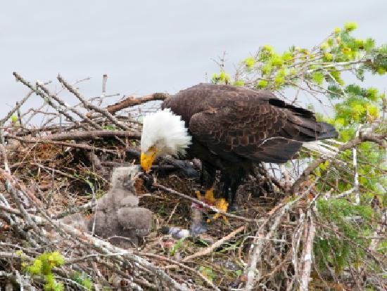 A Snug Harbour Inn: Eagle nest close by