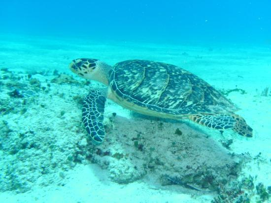 Columbia Reef: Graceful Turtle...