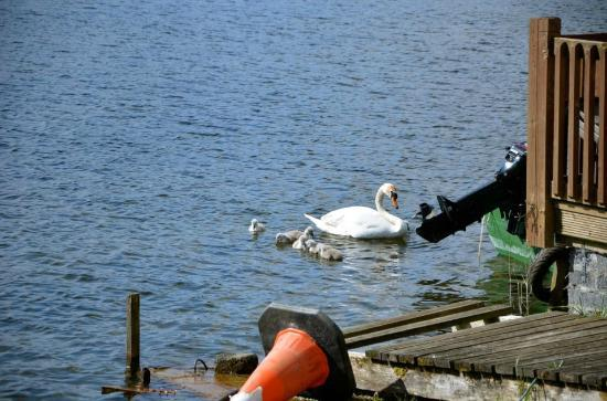 Corrib House Tea Rooms : Mama and baby swans, view from Corrib House table.