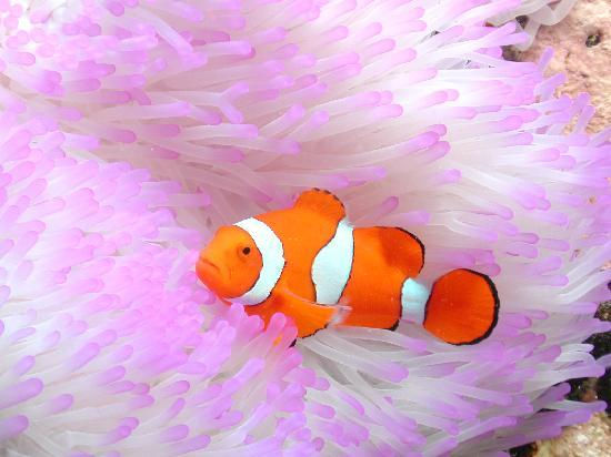 Cairns Region, Αυστραλία: Clownfish in Sea Anemone