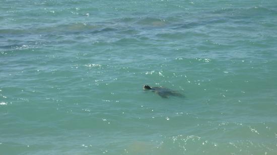 Kulakane: Honu  (sea turtle)