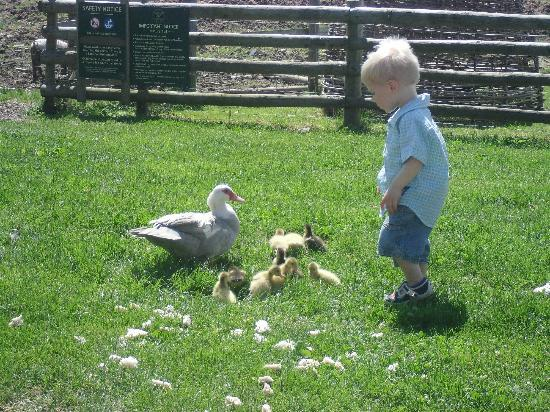 Neston Park Farm Shop: Theo and the ducklings