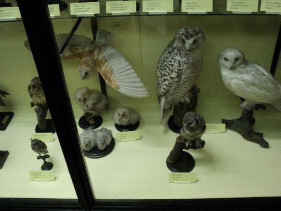 Natural History Museum at Tring: A selection of owls on display at Tring Zoological Museum
