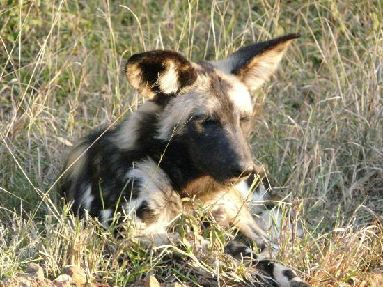 Mpila Camp: Wild Dogs in the bush