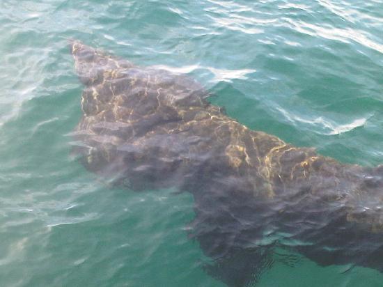St Ives Boats: Basking shark