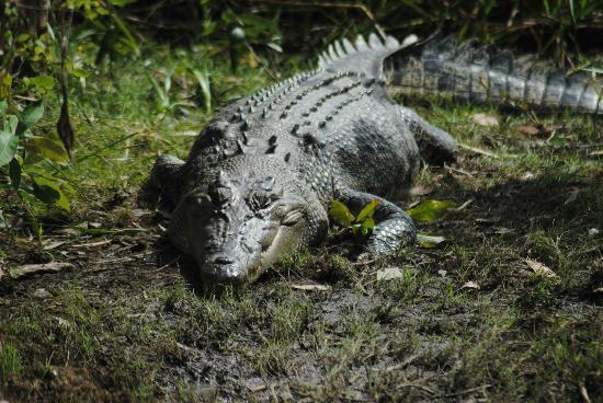 Kakadu National Park, Australien: Nice closeup of a croc entering the waterway