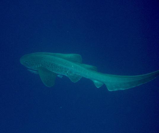 فندق جورجونيا بيتش: Zebra Shark