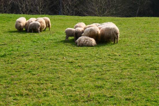 San Sebastian Walking Tours: one of my favorite parts of Basque Country: the sheep!