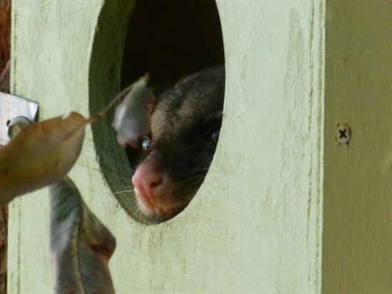 Sanctuary Resort Motor Inn: The cute ringtail possum