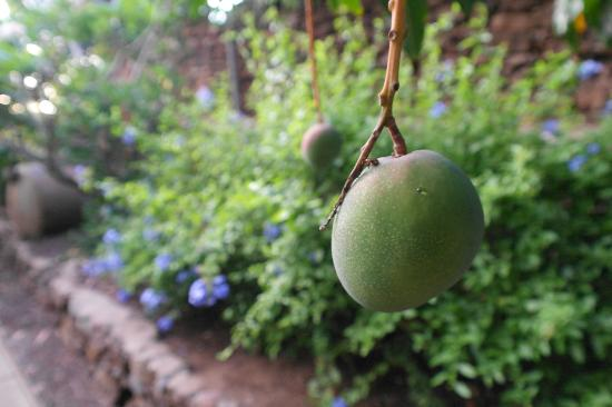 Hale Huanani Bed and Breakfast: Fresh Fruit off the trees