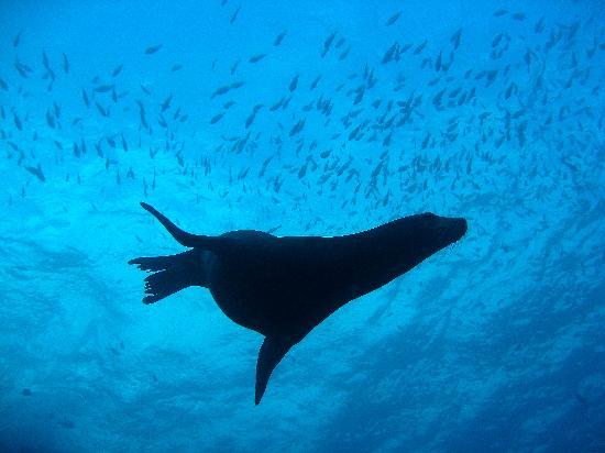 Manta Scuba: Sea Lion swimming