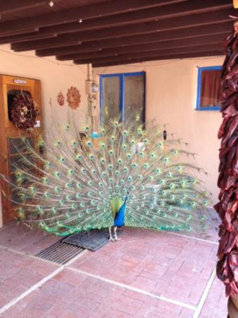 American Artists Gallery B&B: George the Peacock