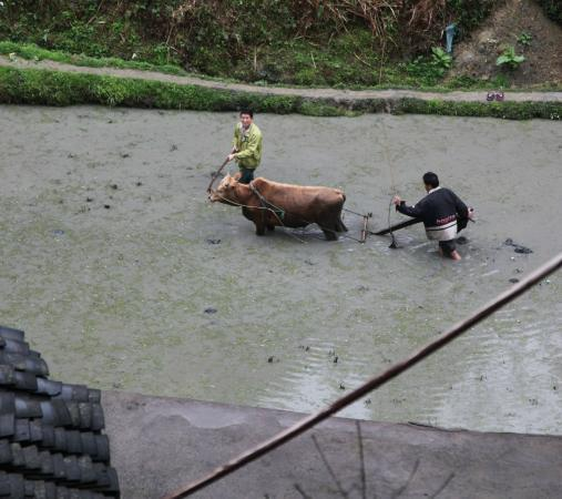 Xijiang Miao Nationality Village: villagers plowing a field in Xijiang