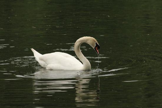 De Boerderij : Swan lake
