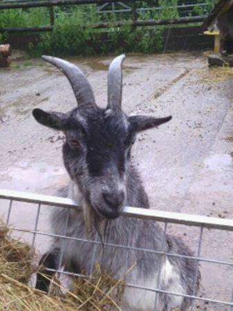 Greenmeadow Community Farm: Feed the very friendly goats