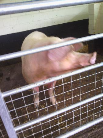Greenmeadow Community Farm: Mummy pig introduces you to piglets in big barn