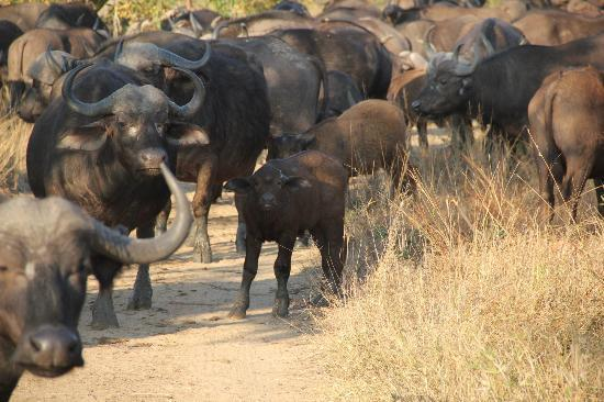 Shumbalala Game Lodge: Buffalo